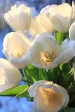 Mazzo dei tulipani bianchi fotografie stock libere da diritti