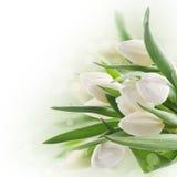 Mazzo dei tulipani bianchi Fotografia Stock Libera da Diritti