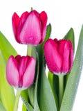 Mazzo dei tulipani dentellare Fotografia Stock Libera da Diritti