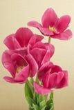Mazzo dei tulipani rossi Fotografia Stock Libera da Diritti