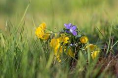 Mazzo dei wildflowers della molla sull'erba Fotografia Stock