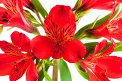 Mazzo del fiore dai parecchi alstroemeria rosso Fotografia Stock
