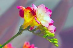 Mazzo del fiore del fondo rosa di alstroemeria Immagini Stock Libere da Diritti