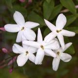 Mazzo del fiore del gelsomino Fotografia Stock Libera da Diritti