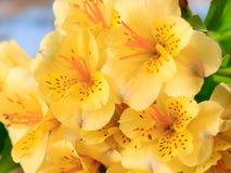 Mazzo del fiore di alstroemeria Fotografia Stock Libera da Diritti