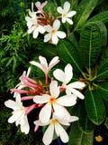 Mazzo del fiore di plumeria Fotografia Stock
