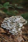 Mazzo del fungo Fotografia Stock Libera da Diritti