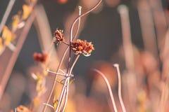 Mazzo del grano saraceno Fotografie Stock