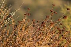 Mazzo del grano saraceno ampio Fotografia Stock