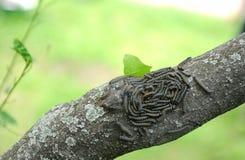 Mazzo del malacosoma di Caterpillar sull'albero Immagine Stock Libera da Diritti