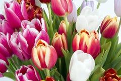 Mazzo del primo piano dei tulipani su bianco Immagini Stock