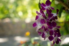 Mazzo del primo piano del fiore porpora dell'orchidea sul fondo del bokeh di bellezza immagine stock