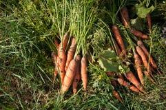 Mazzo del raccolto di carota sull'erba Fotografia Stock