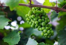 Mazzo dell'uva Fotografia Stock