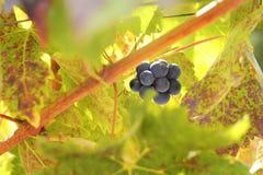 Mazzo dell'uva Fotografia Stock Libera da Diritti