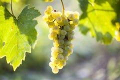 Mazzo dell'uva bianca che appende sulla vite Immagine Stock