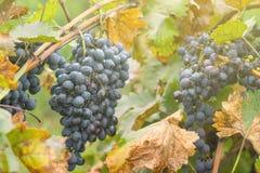 Mazzo dell'uva del vino rosso in vigna coperta di gocce di pioggia fotografia stock
