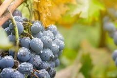 Mazzo dell'uva del vino rosso in vigna coperta di gocce di pioggia fotografia stock libera da diritti