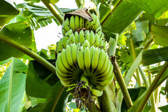 Mazzo della banana sul banano Immagine Stock