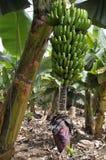 Mazzo della banana a Tenerife Immagini Stock