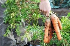 Mazzo della carota dal letto del giardino Immagini Stock Libere da Diritti