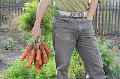 Mazzo della carota della tenuta dell'agricoltore Fotografie Stock