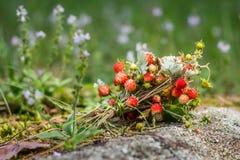 Mazzo della fragola di bosco Fotografia Stock