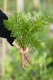 Mazzo della holding della donna di carote. Fotografia Stock