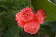 Mazzo della mela della cera sulla pianta Immagine Stock Libera da Diritti