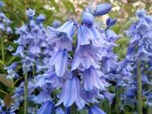 Mazzo delle campanule nel giardino fotografia stock libera da diritti