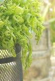 Mazzo delle foglie delle felci della verdura fresca. Immagine Stock Libera da Diritti