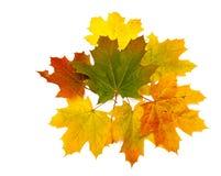 Mazzo delle foglie di acero Fotografie Stock