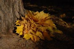 Mazzo delle foglie di acero Fotografia Stock