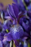 Mazzo delle iridi blu Immagini Stock