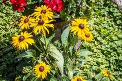 Mazzo delle margherite gialle in giardino fotografia stock