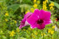 Mazzo delle orchidee del dendrobium Fotografia Stock
