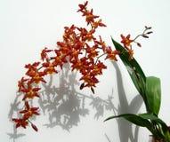 Mazzo delle orchidee di rosso di Marsala Immagine Stock
