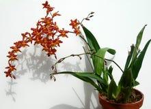 Mazzo delle orchidee rosse di Marsala in un vaso Fotografia Stock Libera da Diritti