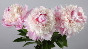 Mazzo delle peonie rosa isolate Fotografia Stock Libera da Diritti