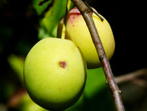 Mazzo delle prugne verdi Fotografie Stock Libere da Diritti