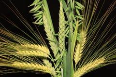 Mazzo delle punte del cereale sui precedenti neri Fotografia Stock Libera da Diritti