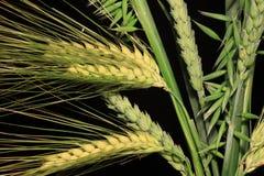 Mazzo delle punte del cereale sui precedenti neri Immagine Stock
