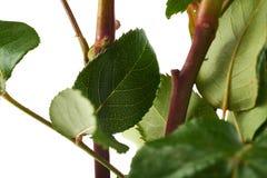 Mazzo delle rose sopra fondo isolato bianco Fotografie Stock Libere da Diritti