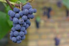 Mazzo di acini d'uva Immagini Stock