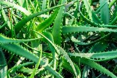 Mazzo di Alovera verde in giardino Immagini Stock