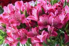 Mazzo di alstroemeria rosa Fotografia Stock