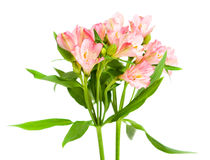 Mazzo di alstroemeria rosa Immagine Stock