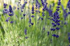 Mazzo di angustifolia del Lavandula di fiori in fioritura Fotografia Stock