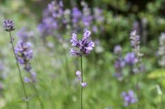 Mazzo di angustifolia del Lavandula di fiori in fioritura Immagine Stock