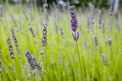 Mazzo di angustifolia del Lavandula di fiori in fioritura Fotografie Stock